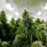 How To Read THC Content On Marijuana Label